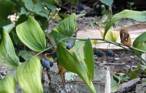 Side-view of dangling, blue berries of Solomon's Seal.