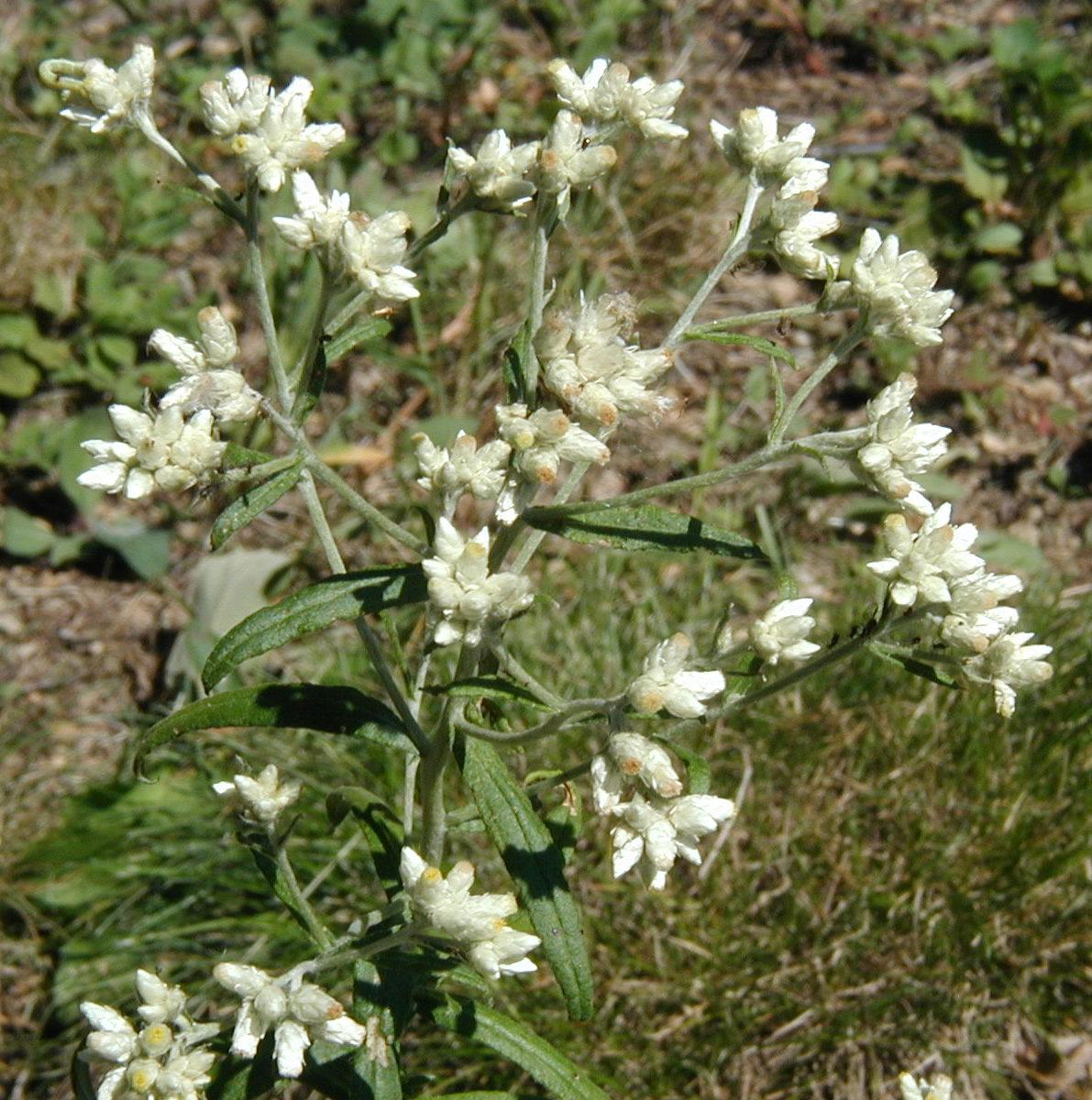 Sweet everlasting blooms for weeks white cottony flower heads of sweet everlasting izmirmasajfo