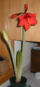 Two flower stalks of amaryllis plant.