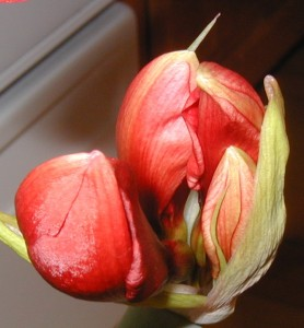 Four blooms in one amaryllis flower head.