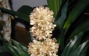 Dracaena flowering.