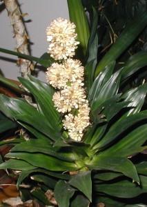 Flowering dracaena.