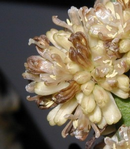 Closeup look at individual flowers of Dracaena.