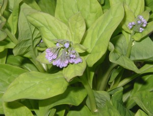 Bluebell flower buds will turn light pink as they open and then turn to blue.