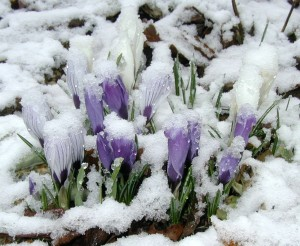 Crocus flowers covered by snow in April.