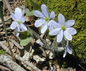 Hepatica flowers at the moss-covered base of a large tree.