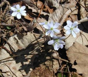 White flowers of Hepatica americana open in the sunshine.