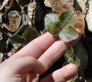 Prostrate leaves of Sharp-Lobed Hepatica.