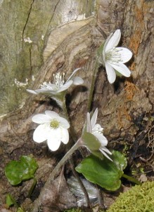 White hepatica flowers at the base of the same tree, but on the north side.