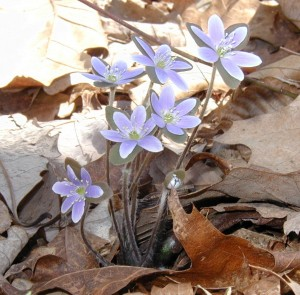 Light blue hepatica flowers right on the trail. Note that three large bracts underneath each flower and their hairy stems.
