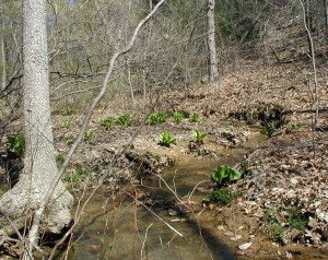 Skunk cabbage growing next to a spring-fed stream that trickles through the hollow between hills of the mountain ridge.