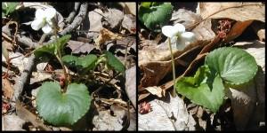 Viola pallens, the Northern White Violet.