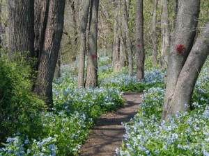 Mass of Virginia Bluebells along the Swatara Creek, Dauphin County, PA.