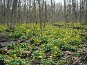 Mass of Marsh Marigolds in Gifford Pinchot State Park, York County, PA.