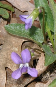 Downy northern violet flower with two lower lateral petals bearded and a short spur as seen on upper flower.