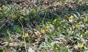 Many trout lilies growing in the same habitat.