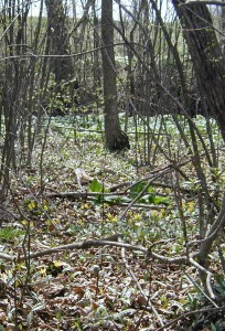 Wetland habitat of trout lily is shared with skunk cabbage and mayapple.