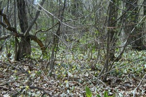 Mass of Trout Lily in Juniata County, PA - at least 50 lilies in bloom.