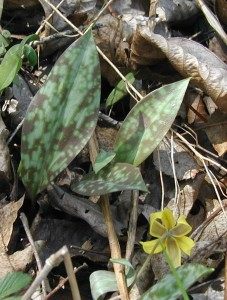 Mottled leaves and swept back petals of the Dogtooth Violet.