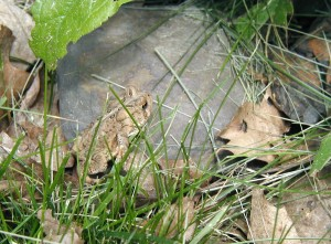 A garden visitor we like to see - they eats lots of insects - American Toad, Bufo americanus.