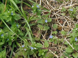 Tiny blue flowers appear at the end of maroon-colored runners.