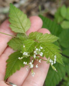 A compound umbel of anise root flowers.