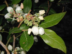 Flowers of a Duke Blueberry, V. corymbosum, are quite similar to the lowbush blueberry, except that these highbush blueberry blossoms are pure white. The stems attain their woody character with age.