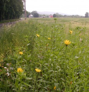 Tall yellow flowers alongside a country road.