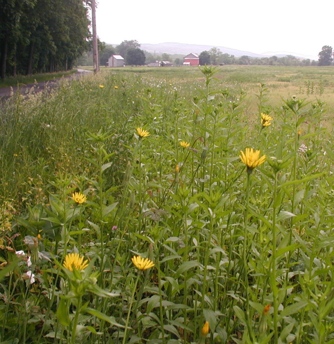 Goatsbeard giant yellow flowers by the road wildeherb tall yellow flowers alongside a country road mightylinksfo