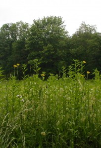 Tall yellow flowers between the agricultural field and the roadside.