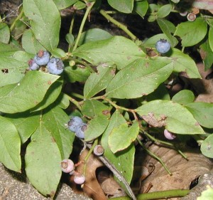 Huckleberry or Lowbush Blueberry fruit gets bigger as it matures from pink to blue.