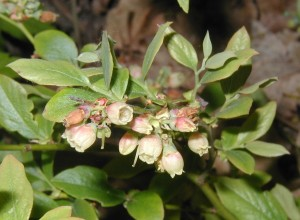 Flower cluster of lowbush blueberry showing blossoms of different ages. The petals of the early flowers have fallen away, while others are blooming or not yet opened.
