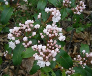 Mountain laurel flower buds start out pink and often lighten into white flowers when blossoming.