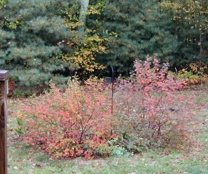Beautiful reds, oranges and purples in the autumn foliage of sargent crabapple trees.