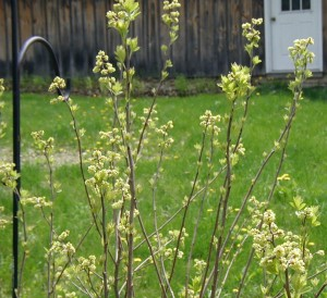 Sargent Crabapple flowering in the backyard.