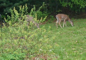 A doe and young buck (on right) graze the long grass and weeds behind the flowering Sargent Crabapple trees.