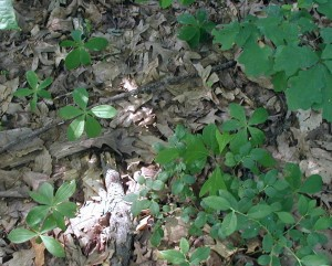 Eight whorled pogonia plants grow among the sassafras, lowbush blueberries and oak saplings.