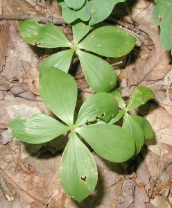 Sometimes pogonia leaves get misshapen when they burst through the forest floor in Spring or by animal activities.