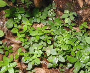 Four leaves in whorls helps to identify wild licorices.