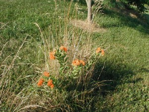 Butterfly Weed in the lawn is protected from the mower with a wire cage.