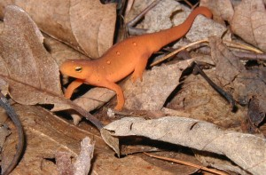 Red eft tramping through the woods in the mountains.