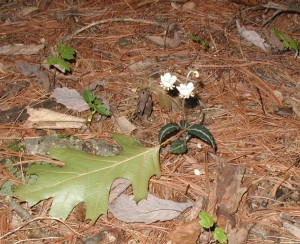 Spotted wintergreen blooming underneath a white pine tree.