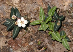 Spotted wintergreen blooming from established foliage.