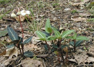Side view of flowering spotted wintergreen.