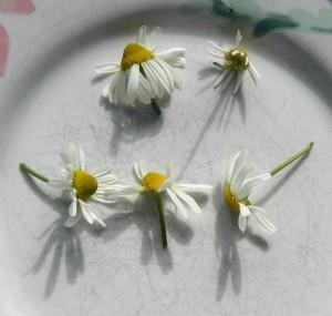 chamomile flowers, fresh