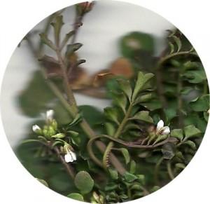 Pennsylvania Bittercress blooms