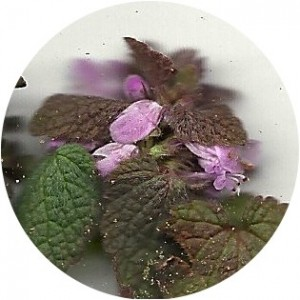Purple Dead Nettle blooming early this year.