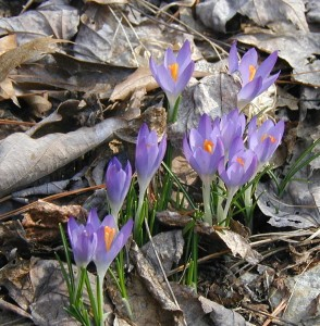Early crocuses or anemones in bloom.