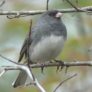 Dark-eyed junco or slate-colored junco, female.
