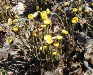Coltsfoot flower heads open up slowly in filtered sunshine.